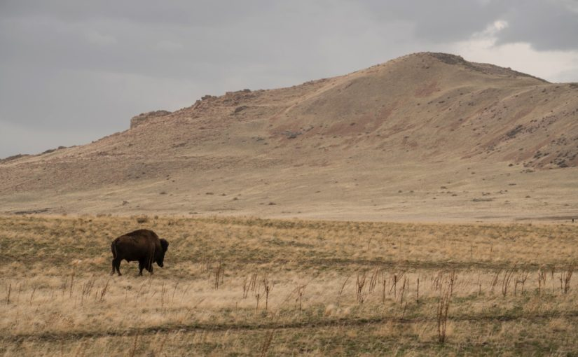 Sacrificing Minutes – Antelope Island Buffalo Run 100
